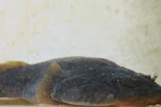 Žuvis prielipa: kibiausia pasaulio žuvis pakelia 12 kartų už save sunkesnį akmenį