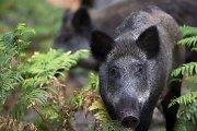 Per savaitę nustatyti 3 afrikinio kiaulių maro atvejai šernams