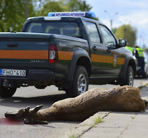 Užsienietiški būdai išvengti susidūrimo su laukiniais gyvūnais keliuose