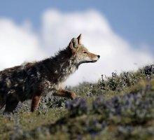 Kanadoje į namą prasmukusį kojotą vyras nubaidė su dulkių siurbliu