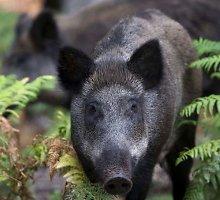 Afrikinis kiaulių maras plinta į centrinę Lietuvos dalį