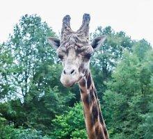 Žirafos Lietuvos zoologijos sode gyvens geriau