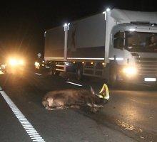 Estų abejingumas: Panevėžio rajone kliudę briedį pasišalino iš įvykio vietos