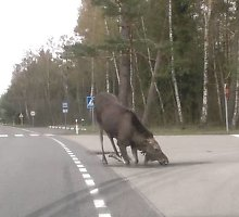 Neįprasta avarija Panevėžio rajone: į briedį atsitrenkė ir motociklas, ir vilkikas