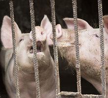 Smulkiuose ūkiuose nustatytoje AKM zonoje iki lapkričio mėnesio kiaulių turės nelikti