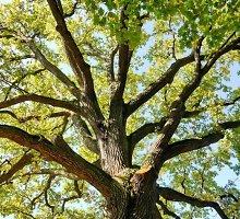 Lūžusi ąžuolo šaka Ignalinos rajone pražudė nepatyrusį medkirtį