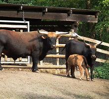 Ūkininko galvos skausmas – nacių Vokietijoje išvestos agresyvios karvės