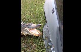 Bebaimis aligatorius apgynė savo teritoriją – nuplėšė jį puolusio sunkvežimio buferį