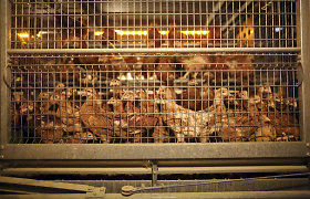 Prieš Velykas gyvūnų globėjai kiaušinių valgytojus gąsdina siaubo filmu iš Lietuvos paukštynų