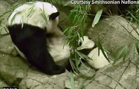 Apsaugos kameros nufilmavo pirmuosius pandos mažylio žingsnius