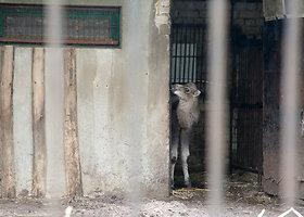 Zoologijos sode – kupranugarių jauniklė