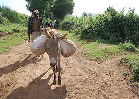 Milžiniško Kenijos miško gyventojus ogiekus pakeitė medkirčiai