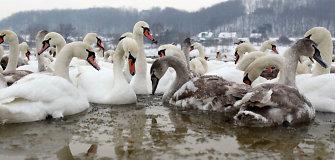 Ornitologai kviečia žiemą padėti paukščiams