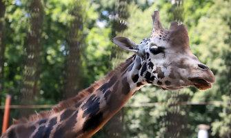 Žirafos netekusiam Lietuvos zoologijos sodui kitai atsivežti teks rasti maždaug 20 tūkst. litų