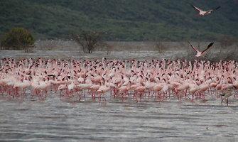 Flamingais ir geizeriais garsėjantis Bogorijos ežeras Kenijoje