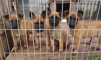 Lietuviai neteisėtai gabena šunis į Jungtinę Karalystę