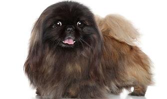 Būdviečio seniūnijos gyventojos namuose vagį sudomino tik pekino veislės šuo ir 200 litų
