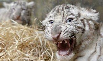 Klaipėdoje baltoji tigrė atsivedė tris tigriukus