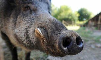 Pirmąkart afrikinis kiaulių maras nustatytas Trakų rajone