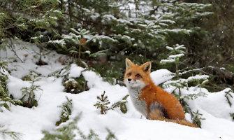 Lietuvoje pasitaiko ir prie grandinės laikomų laukinių gyvūnų
