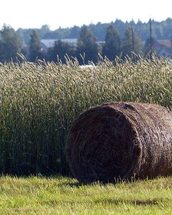 Grūdų derlius Baltarusijoje šiemet – rekordinis