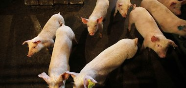 Lithuania orders slaughter of pigs close to Belarusian border