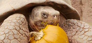 Pamatykite: 13 Galapagų vėžlių prieš Heloviną triauškino moliūgus
