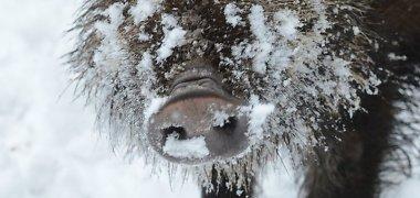 Lietuvoje nustatyti keturi afrikinio kiaulių maroatvejai šernams