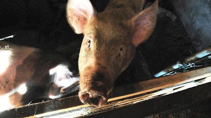 Kėdainių rajone – pirmasis afrikinio kiaulių maro atvejis kiaulių ūkyje