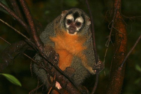"""""""Shutterstock"""" nuotr./Naktinė beždžionė"""