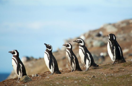 123rf.com nuotr./Pingvinai Magdalenos saloje