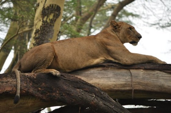 M. Vadišio nuotr./Aplink Nakuru ežerą plytinčiose savanose verda žvėrių gyvenimas.