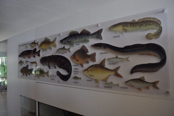M.Vadišio nuotr./Ežero žuvys