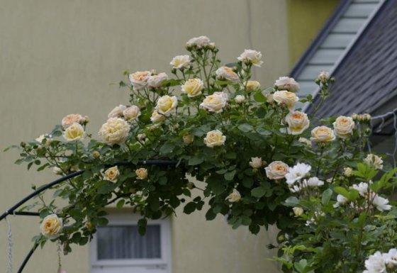 Nijolės Karpavičienės nuotr./\'Alchymist\' rožės