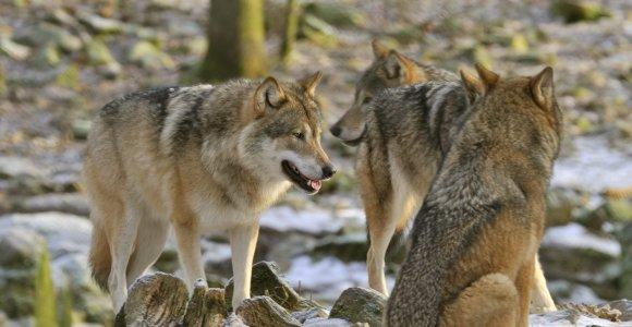 Klystame manydami, kad vilkai yra nejautrūs kraugeriai