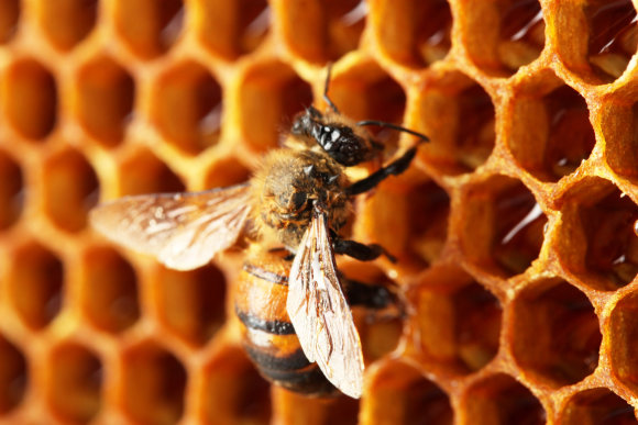 Shutterstock nuotr./Bitė kopia medų