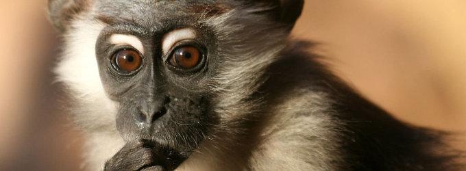 Zoologijos sodo savininkas nuteistas 2 metus kalėti už tai, kad jo beždžionė pasmaugė kūdikį